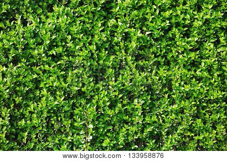 Green leaves of plants as a hedge