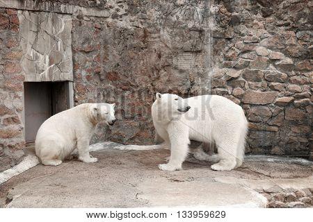 White polar bears in zoo