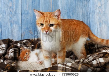 Ginger cat with its kitten on plaid blanket at blue wooden background. Red orange cat with white chest stands near ginger sleepy kitten. Maternity, motherhood, pet care.
