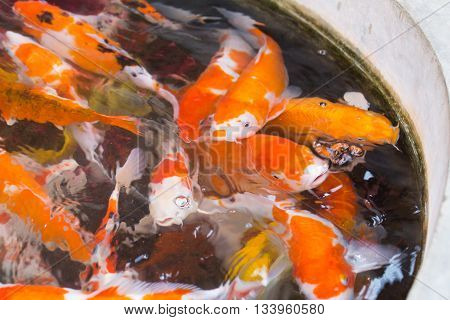 group of color ful fancy carp fish in clear water pool