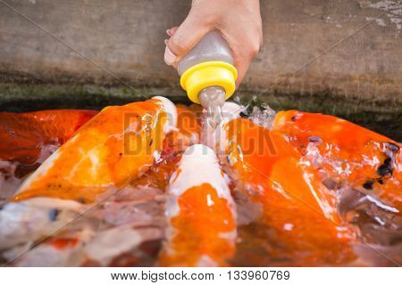 hand give food by milk bottle to fancy carp fish