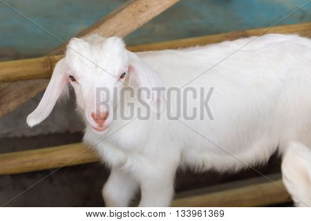 single white baby sheep looking to camera
