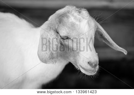 white baby sheep face in black and white