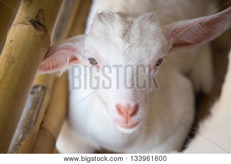 white baby sheep face with bamboo fence