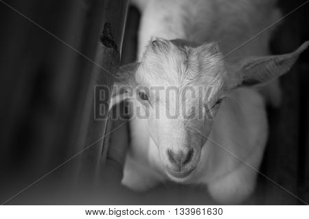 white baby sheep in black and white