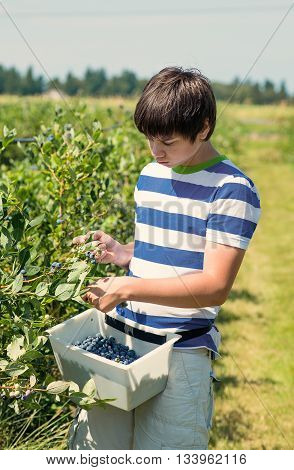 Teenage boy picking blueberry from a bush at the fruit farm.