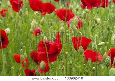 Glade bright red poppy flowers in green