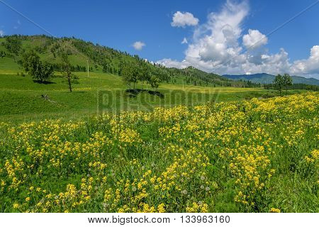 Beautiful bright mountain landscape with yellow wildflowers in a meadow on a background of mountains forest and blue sky with clouds