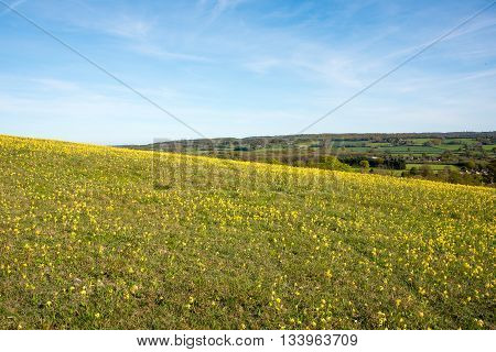Hillside in the Kent countryside covered with Yellow Flowers