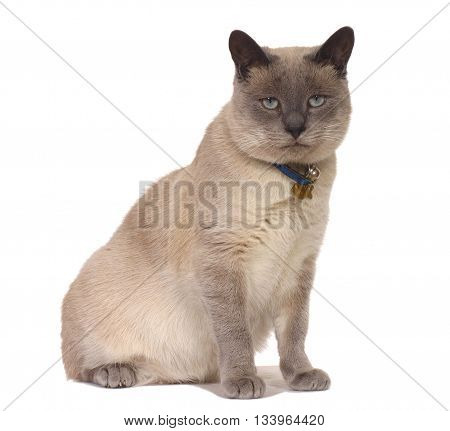 Seal Point Siamese Cat. Originated In The East