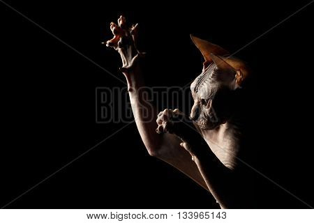 Closeup Playful Sphynx Cat Hunting Raising paws Isolated on Black Background