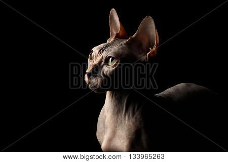 Closeup Portrait of Interesing Sphynx Cat with Yellow eyes Profile view Isolated on Black Background