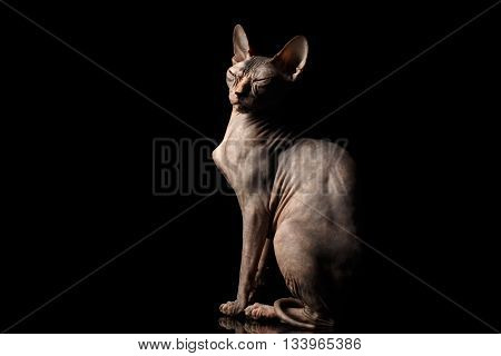 Weird Sphynx Cat Sitting Curious squints Isolated on Black Background, side view