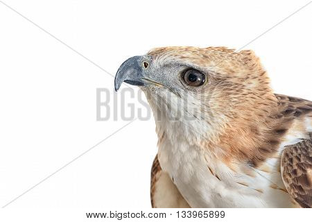 Portrait of beauty hawk ,Changeable Hawk Eagle (Nisaetus limnaeetus)