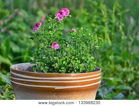 Pelargonium grandiflorum flowers in a pot South Bohemia Czech Republic