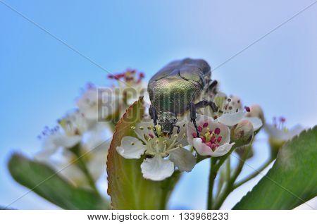 Cetonia aurata beetle on flowering aronia South Bohemia Czech Republic