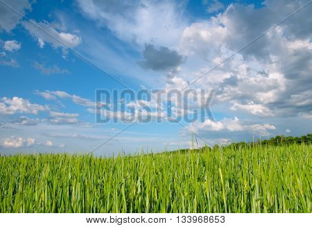 rye field in the sun with blue sky and fluffy clouds