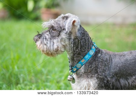 Closeup schnauzer dog looking on blurred grass floor in front of house view background