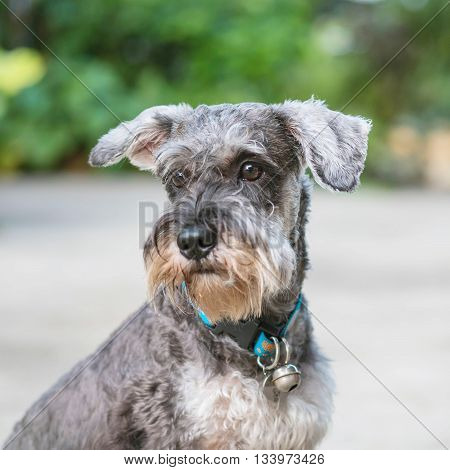 Closeup schnauzer dog looking on blurred cement floor in front of house view background