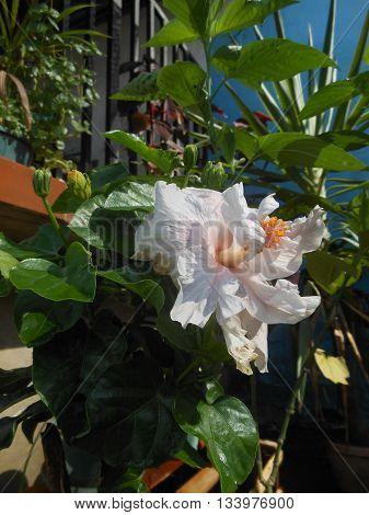 Venezuelan white flower indigenous cultural exotica garden