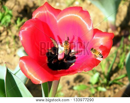 Bee on a Red Tulip in Or Yehuda Israel