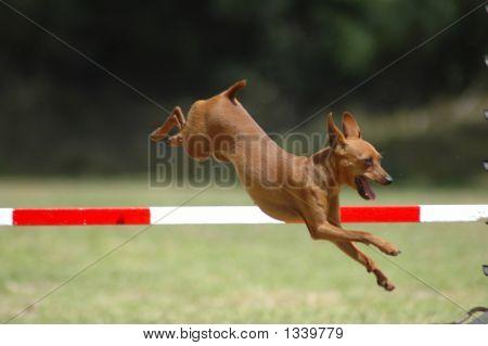 Perro Pinscher Miniatura de salto