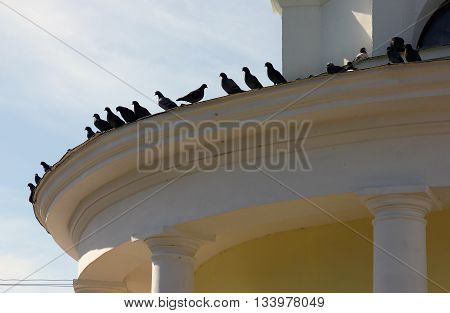 A lot of pigeons sitting on edge of roof of yellow classical building with columns Torzhok Russia