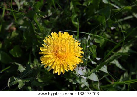 beautiful wild yellow bud flower dandelions with petals on green grass closeup