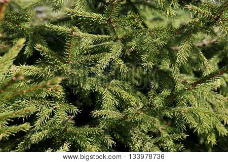 beautiful green spruce branches of fir tree with needles foreground closeup