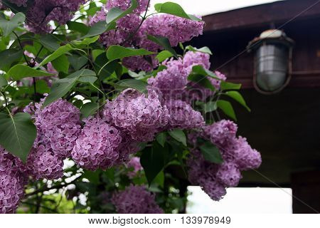 big beautiful good branch of purple lilac flower with green leaves closeup in the background of wooden country house and street lamp