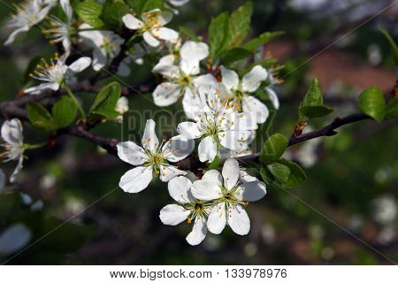 branch of beautiful blossoming plum tree with many small pretty white flowers and green leaves in spring