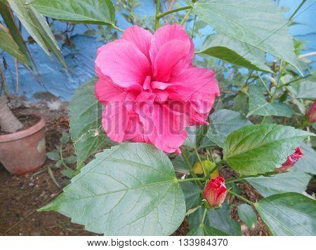 Venezuelan indigenous culturally pink flower exotic garden