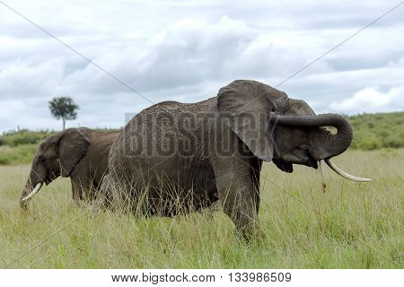 Two African bush elephant (Loxodonta africana) grazing in the meadows of the savanna in Tarangire National Park, Tanzania.