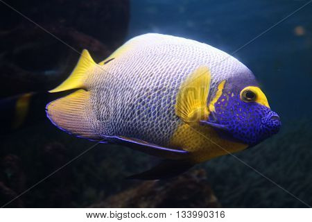 Fish-angel (Pomacanthidae) bright marine fish from the order Perciformes
