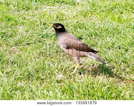 Common Myna isolated on a grass in Or Yehuda Israel