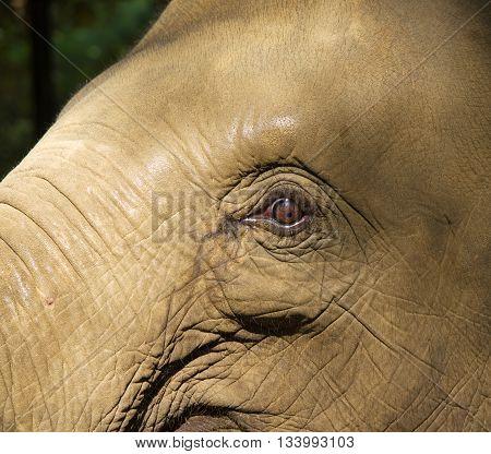 Detail of head of asian elephant - Elephas maximus