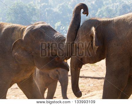 Couple of young asian elephants - Elephas maximus