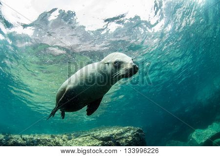 Sea Lion in the Sea of Cortez, Mexico
