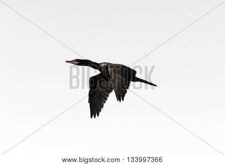 Bird isolated on white is a black bird captured flying at high speed.