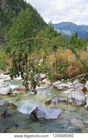 Mountain-ash Tree Over Creek