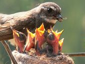 stock photo of fantail  - a grey fantail mother feeding her voracious young