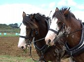 image of clydesdale  - Two Clydesdale horses - JPG