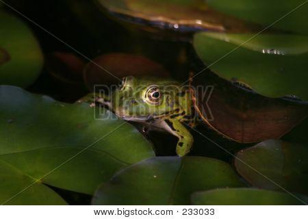 Frog - 8