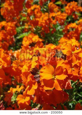 Orange Cheiranthus