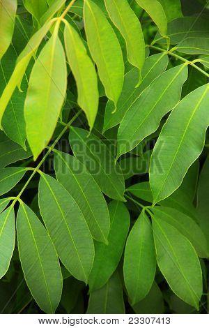 Natural Green Leaf