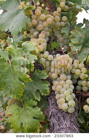 Chardonnay grape in Hungary