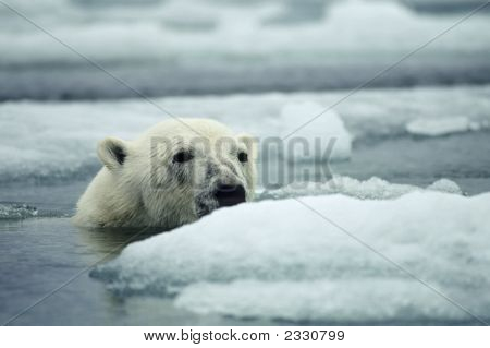 Polar Bear In Sea