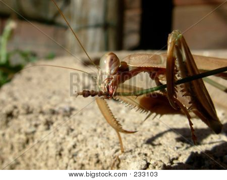 Mantis, Praying Mantis, Insect, Bug