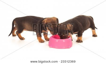 Puppies of dachshund eating from milk bowl. Isolated on white