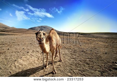 Camel In The Canarian Island, Lanzarote